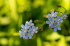 Het Timelittleblauw vergeet me niet bloemen, de lentetijd Stock Fotografie