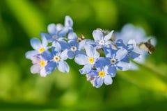 Het Timelittleblauw vergeet me niet bloemen, de lentetijd Royalty-vrije Stock Foto's