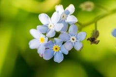 Het Timelittleblauw vergeet me niet bloemen, de lentetijd Royalty-vrije Stock Foto