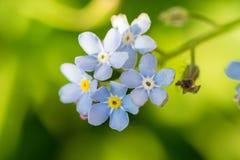 Het Timelittleblauw vergeet me niet bloemen, de lentetijd Royalty-vrije Stock Afbeelding