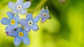 Het Timelittleblauw vergeet me niet bloemen, de lentetijd Royalty-vrije Stock Fotografie