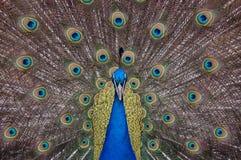 Het tonen van de pauw bevedert het bekijken de camera Royalty-vrije Stock Afbeelding