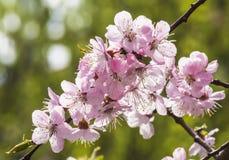 Het tot bloei komen, bloesem, bloem, groene boom, tuin, lente, roze, de openlucht, decoratie, park, landbouw, bloemen, bloemblaad Royalty-vrije Stock Foto's