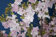 Het tot bloei komen Cherry Tree Royalty-vrije Stock Afbeelding