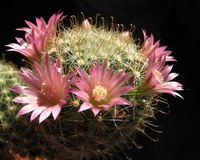 Het tot bloei komen dasiaconta van cactusMammillaria Stock Foto's