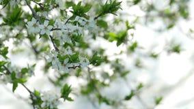het tot bloei komen de boomlente stock video