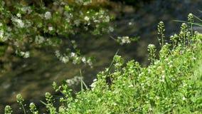 het tot bloei komen de boomlente stock footage
