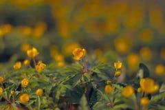 Het tot bloei komen in de lente van bosbloemen Royalty-vrije Stock Foto
