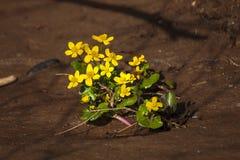 Het tot bloei komen in de lente van bosbloemen Royalty-vrije Stock Afbeeldingen