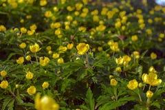 Het tot bloei komen in de lente van bosbloemen Royalty-vrije Stock Foto's