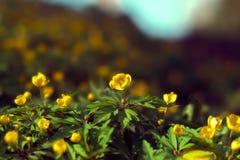 Het tot bloei komen in de lente van bosbloemen Stock Foto