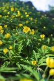 Het tot bloei komen in de lente van bosbloemen Royalty-vrije Stock Afbeelding