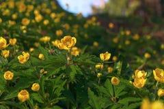 Het tot bloei komen in de lente van bosbloemen Stock Fotografie