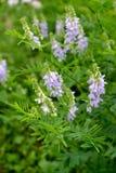 Het tot bloei komen een galega geneeskrachtig (geitrue) (officinal Galega Stock Fotografie