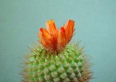 Het tot bloei komen faustiana van cactusParodia. Stock Afbeeldingen