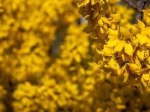 Het tot bloei komen forsythia in de tuin stock afbeelding