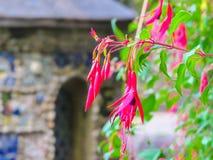Het tot bloei komen Fuchsia tegen een Kleine Kapel, Guernsey-Eiland, Kanaaleilanden Stock Foto's