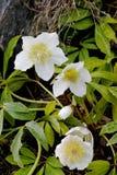 Het tot bloei komen hellebore Helleborus Niger in de lente royalty-vrije stock foto