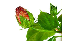 Het tot bloei komen knop rosa-sinensis in waterdruppeltjes Stock Foto