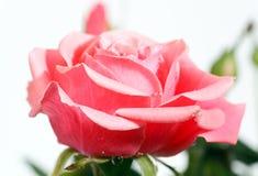 Het tot bloei komen nam bloem toe Royalty-vrije Stock Afbeeldingen