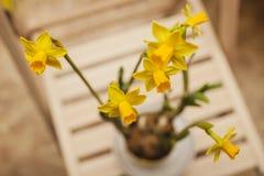 Het tot bloei komen narcissuses in een pot Stock Fotografie