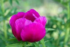 Het tot bloei komen het rode close-up van de pioenbloem royalty-vrije stock afbeeldingen