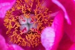 Het tot bloei komen het rode close-up van de pioenbloem royalty-vrije stock foto