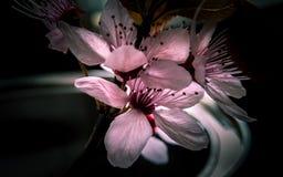 Het tot bloei komen Roze Cherry Plum Flower Macro royalty-vrije stock afbeeldingen