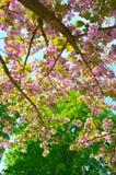 Het tot bloei komen sakura Stock Foto