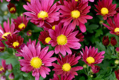 Het tot bloei komen van Chrisanthemum Stock Afbeelding