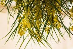 Het tot bloei komen van de Acaciapycnantha van de mimosaboom, gouden acacia dicht omhoog in de lente, heldere gele bloemen, coojo Stock Foto's