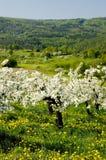 Het tot bloei komen van de appelbomen Stock Afbeeldingen