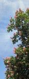 Het tot bloei komen van de kastanje stock afbeelding
