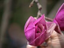 Het tot bloei komen van magnoliabloemen in botanische tuin Royalty-vrije Stock Foto's