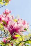 Het tot bloei komen van roze magnoliabloemen in de lentetijd Stock Afbeeldingen