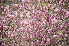 Het tot bloei komen van roze magnoliabloemen in de lentetijd, bloemen seizoengebonden achtergrond stock foto's