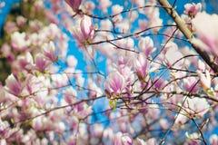 Het tot bloei komen van roze magnoliabloemen in de lentetijd, bloemenachtergrond Royalty-vrije Stock Afbeelding