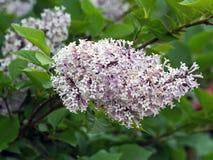 Het tot bloei komen van zwarte nigra van sambucussambucus op donkergroene achtergrond van tuin royalty-vrije stock afbeeldingen