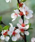 Het tot bloei komen voelde Chinese kersenmacro Royalty-vrije Stock Foto's