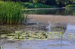 Het tot bloei komen Waterlelie Bloeiende gele Waterlelie en populierfl Royalty-vrije Stock Afbeeldingen