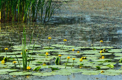 Het tot bloei komen Waterlelie Bloeiende gele Waterlelie en populierfl Stock Afbeeldingen
