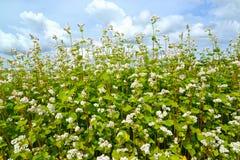 Het tot bloei komende boekweit die Fagopyrum esculentum Moench ag zaaien ainst de achtergrond van de hemel stock afbeeldingen