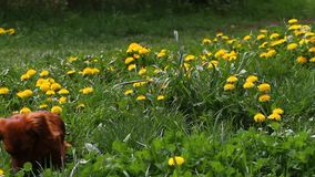 Het tot bloei komende gebied van Paardebloemtaraxacum met wilde vogelsliederen en schoonheids longhair tekkel Gele paardebloemen  stock video