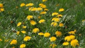 Het tot bloei komende gebied van Paardebloemtaraxacum met wilde vogelsliederen Gele paardebloemen op groene weide in de lente stock videobeelden