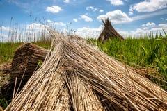 Het traditionele riet oogsten voor met stro bedekte daken Stock Foto's