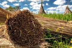 Het traditionele riet oogsten voor met stro bedekte daken Stock Afbeeldingen