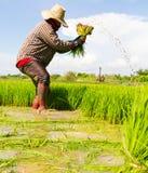 Het trekken van rijstzaailingen Stock Foto