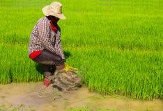 Het trekken van rijstzaailingen Stock Afbeelding