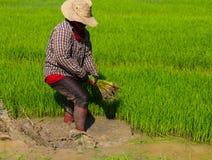 Het trekken van rijstzaailingen Stock Afbeeldingen