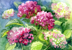 Het trekken van Tot bloei komende Hydrangea hortensia's Document, waterkleur Stock Fotografie